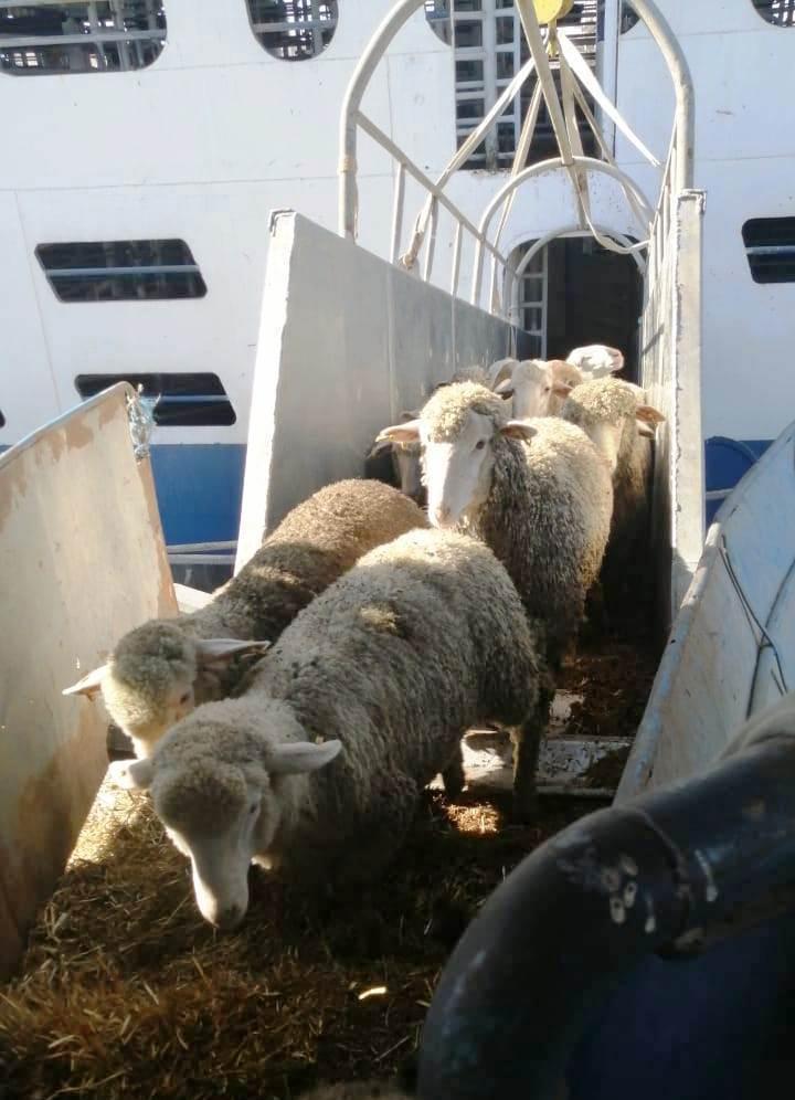 ANSVSA impune noi măsuri pentru comerţul cu animale vii, după blocajul din Canalul Suez. Comercianţii sunt nevoiţi să mărească cantităţile de furaje şi de apă cu minim 25% şi să crească spaţiul destinat animalelor cu 10-15%
